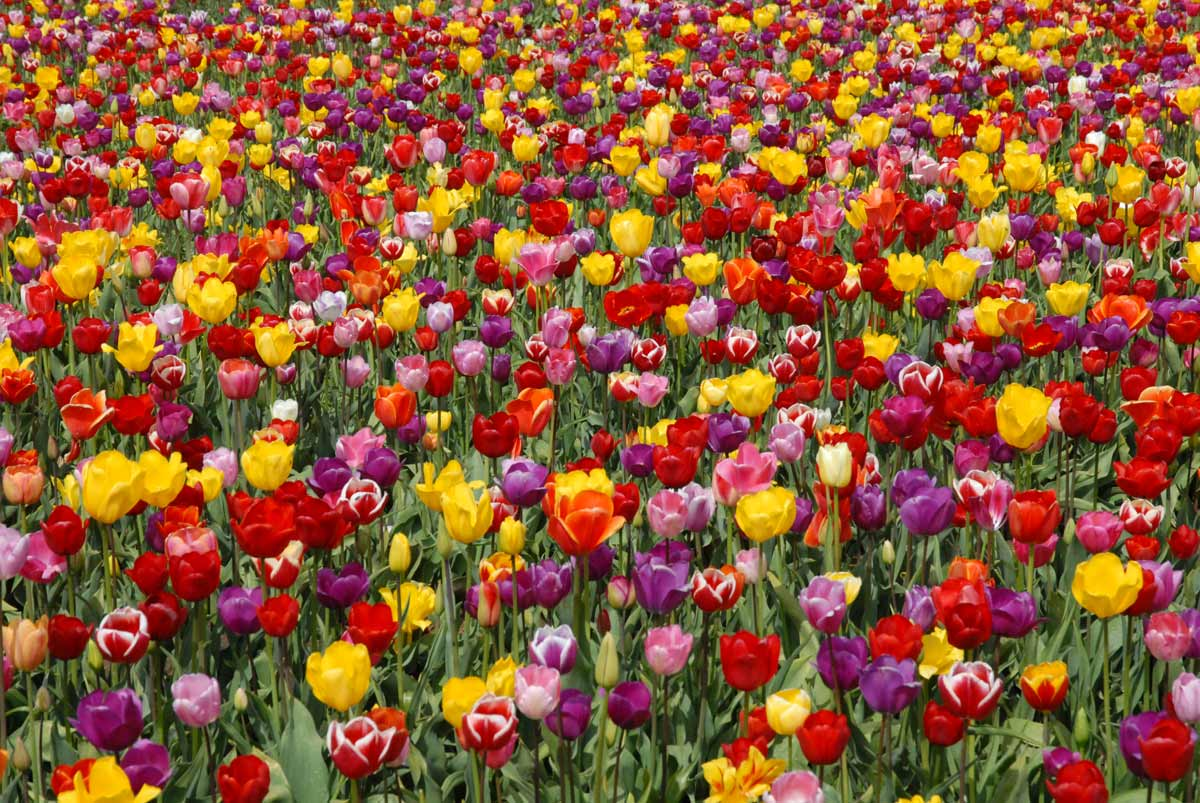 tulips in the spring - photo #33